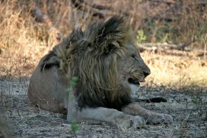 Giovani leoni maschi al Madikwe Game Reserve